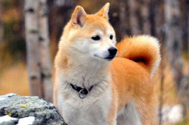 Dogecoin: Qu'est-ce que la pièce Shiba Inu?  Tout savoir sur le rival DOGE