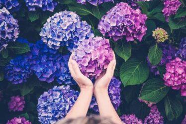 Pourquoi les hortensias changent-ils de couleur?  L'astuce à utiliser si vous souhaitez changer les couleurs de la floraison