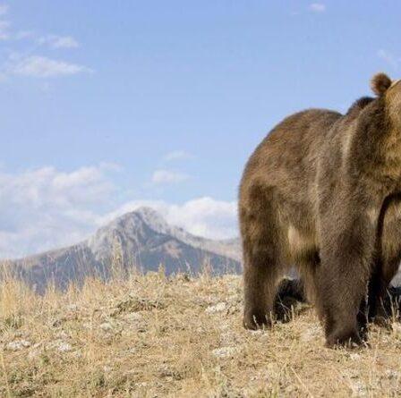 Attaque d'ours d'Ovando : une campeuse traînée hors d'une tente et tuée par un grizzly dans le Montana