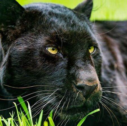 """""""Observation"""" d'un gros chat: la vidéosurveillance capture plusieurs fois une bête présumée """"marchant comme un lion"""""""