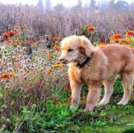 Plantes toxiques pour les chiens : De quelles fleurs vénéneuses éloigner votre animal de compagnie