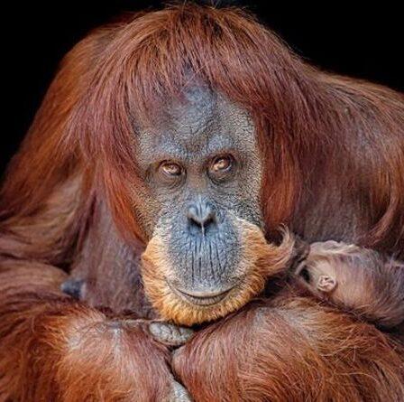 Premier regard sur l'adorable bébé orang-outan en voie de disparition né au zoo britannique - photos