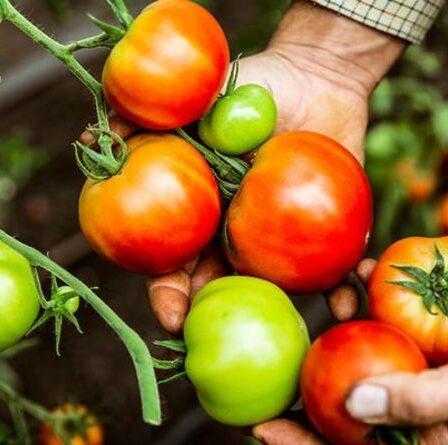 Un expert en jardinage partage un conseil «brutal» pour encourager les plants de tomates à fructifier:«coupez-les!»