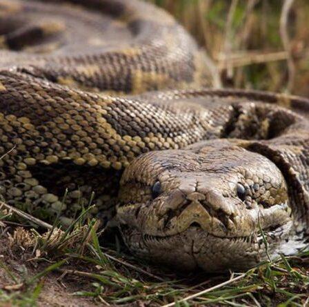 """Un homme de 65 ans souffre d'un voyage horrible aux toilettes après qu'un python de 5 pieds émerge pour lui """"pincer"""" les parties génitales"""