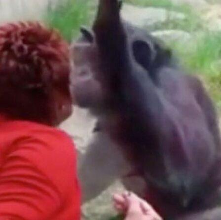 """Une femme bannie du zoo après quatre ans d'""""histoire"""" avec un chimpanzé - """"Il m'aime"""""""