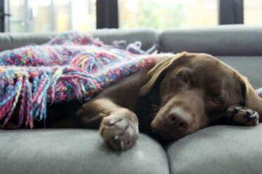 Labrador trouve le paradis ultime pour les chiens alors que la chambre vacante est transformée