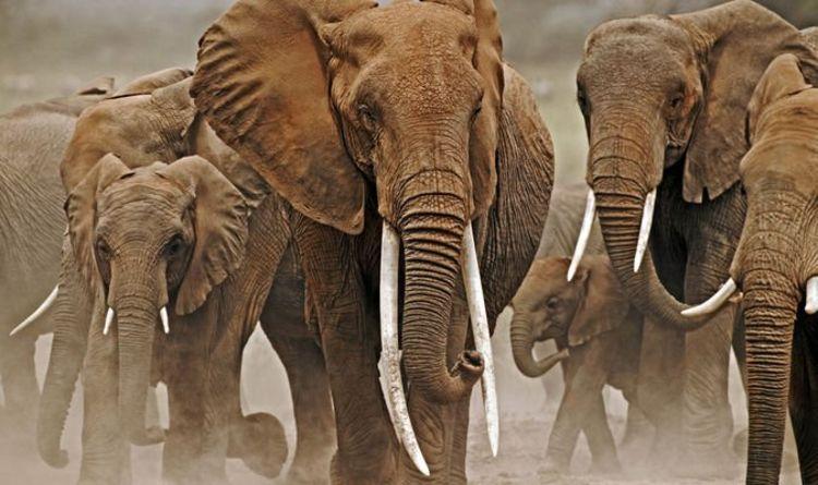 Les éléphants évoluent sans défenses pour échapper aux braconniers