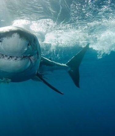 Moment d'horreur, un grand requin blanc s'approche d'un enfant surfer impuissant dans une vidéo de drone terrifiante